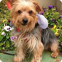 Adopt A Pet :: *URGENT* Nicky - Van Nuys, CA