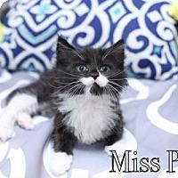 Adopt A Pet :: Miss Puff $85 Female Kitten - knoxville, TN
