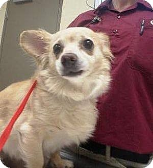 Dog Rescue Las Vegas Nv Las Vegas Nv Chihuahua Mix Meet Maddie A Dog For Adoption