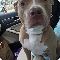 American Pit Bull Terrier Mix Dog for adoption in Hazel Park, Michigan - Skye Blue