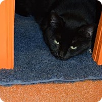 Domestic Shorthair Cat for adoption in Canastota, New York - Zada