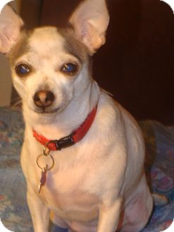 Chihuahua Mix Dog for adoption in Providence, Rhode Island - Chiquita aka Chikita CJ in AR $299