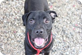 Boxer Mix Dog for adoption in Greensboro, North Carolina - Shasta