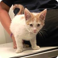 Domestic Shorthair Kitten for adoption in University Park, Illinois - Alvin