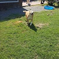 Adopt A Pet :: Aki - Mocksville, NC