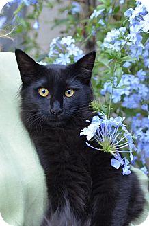 Domestic Shorthair Cat for adoption in San Jose, California - Sweet Pea