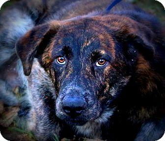 Mastiff/Shepherd (Unknown Type) Mix Dog for adoption in Glastonbury, Connecticut - Logan~ meet me!