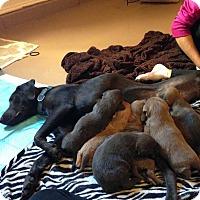 Adopt A Pet :: Marlee - Wenonah, NJ