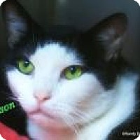 Domestic Shorthair Cat for adoption in Manchester, New Hampshire - Robinson-needs another cat