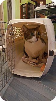 Domestic Shorthair Cat for adoption in Sherman Oaks, California - Buddy