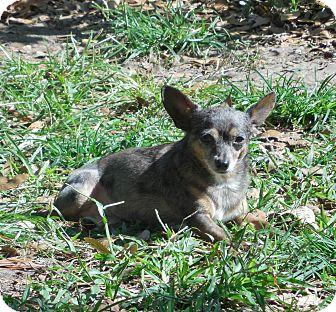 Chihuahua Dog for adoption in Ormond Beach, Florida - Hoppy