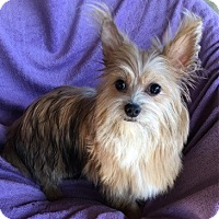 Cairn Terrier/Yorkie, Yorkshire Terrier Mix Dog for adoption in Temecula, California - Bailey