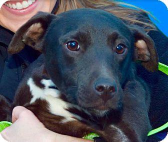 Manchester Terrier/Labrador Retriever Mix Dog for adoption in New York, New York - Dot
