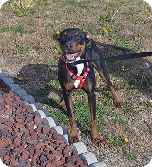 Doberman Pinscher Mix Dog for adoption in Larned, Kansas - Zelda