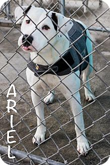 Border Collie/Affenpinscher Mix Dog for adoption in St Helens, Oregon - Ariel