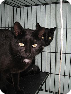 Domestic Shorthair Cat for adoption in Riverhead, New York - Jack