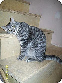 Domestic Shorthair Cat for adoption in Kohler, Wisconsin - Kayden