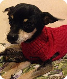 Chihuahua/Terrier (Unknown Type, Small) Mix Dog for adoption in North Olmsted, Ohio - Ralphie