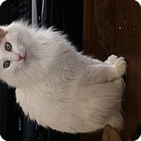 Adopt A Pet :: Elsie May Fluffy Bottom - Sterling Hgts, MI