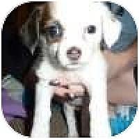 Adopt A Pet :: Carina - Novi, MI