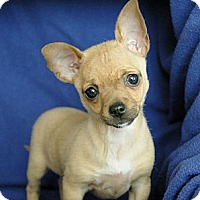 Adopt A Pet :: Kourtney - Sacramento, CA