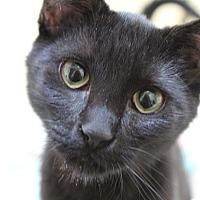Adopt A Pet :: Venus - Novato, CA