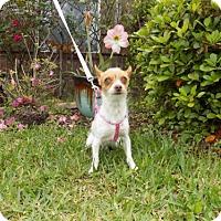 Adopt A Pet :: Taffy - Katy, TX