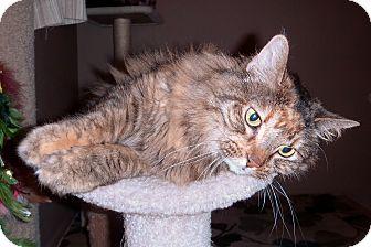 Domestic Mediumhair Cat for adoption in Mesa, Arizona - Sassy