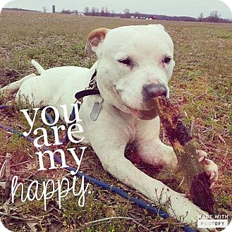 American Bulldog/American Staffordshire Terrier Mix Dog for adoption in Grafton, Ohio - Capone