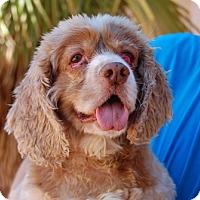 Cocker Spaniel Mix Dog for adoption in Las Vegas, Nevada - Lucius