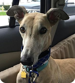 Greyhound Dog for adoption in West Palm Beach, Florida - Funky