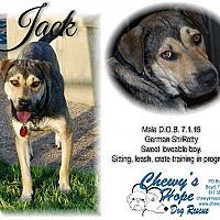 American Staffordshire Terrier/German Shepherd Dog Mix Dog for adoption in Boyd, Texas - Jack aka Handsome Jackmam