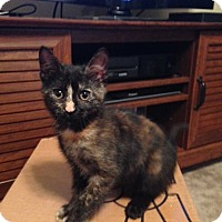 Domestic Shorthair Kitten for adoption in Manhattan, Kansas - Peanut