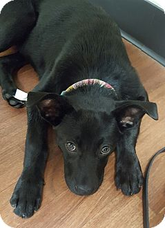 Labrador Retriever/German Shepherd Dog Mix Puppy for adoption in Mount Gilead, Ohio - Lace