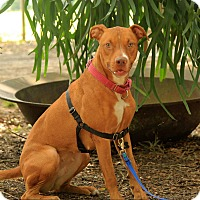 Vizsla/Hound (Unknown Type) Mix Dog for adoption in Sarasota, Florida - Rachel
