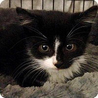 Adopt A Pet :: Macavity - River Edge, NJ