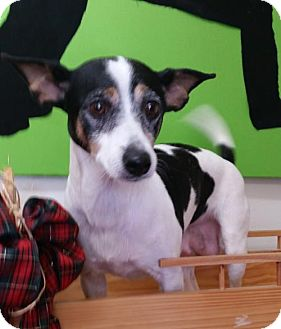 Rat Terrier Dog for adoption in REDDING, California - Willow