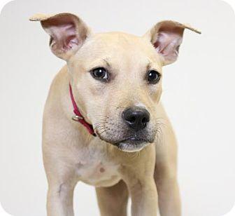 Terrier (Unknown Type, Medium)/Pit Bull Terrier Mix Dog for adoption in Edina, Minnesota - Hardie  D161609