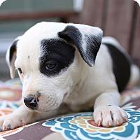 Adopt A Pet :: Patchy - Allentown, PA