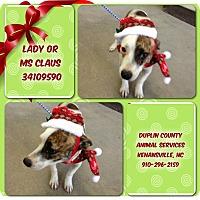 Adopt A Pet :: FEMALE CHI MIX - Kenansville, NC