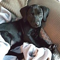Adopt A Pet :: ARCHIE - Westmont, IL