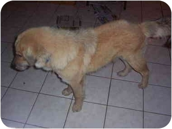 Great Pyreneeschow Chow Mix Puppy For Adoption In Austin Texas | Dog ...