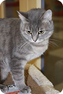 Domestic Shorthair Cat for adoption in Phoenix, Arizona - Tiffy