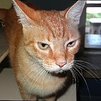 Domestic Shorthair Cat for adoption in Palm City, Florida - Simba