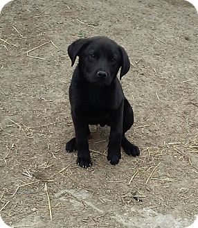 Labrador Retriever Mix Puppy for adoption in Gallatin, Tennessee - Wyatt