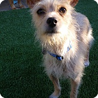 Adopt A Pet :: Chestar - Las Vegas, NV