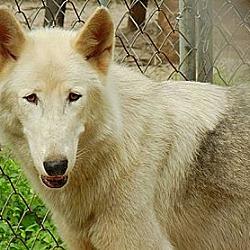 Photo 1 - German Shepherd Dog/Alaskan Malamute Mix Dog for adoption in Orlando, Florida - Wolfdog - Kito