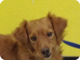 Spaniel (Unknown Type) Mix Dog for adoption in PHOENIX, Arizona - Tyler