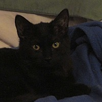Domestic Shorthair Kitten for adoption in Plattekill, New York - Clover