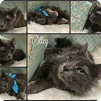 Adopt A Pet :: Olley - Joliet, IL